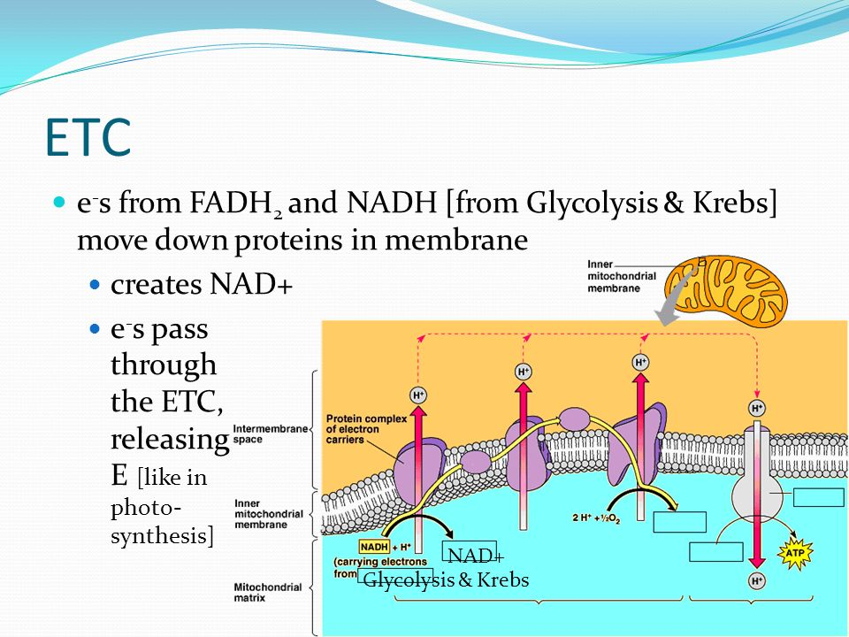 ETC e-s from FADH2 and NADH [from Glycolysis & Krebs] move down proteins in membrane. creates NAD+